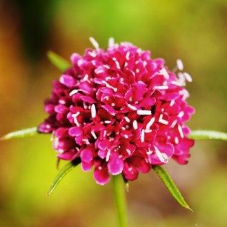 Scabiosa atropurpurea, 'Beaujolais Bonnets'