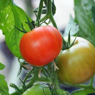 Tomato 'Caran'