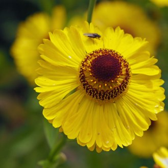 Helenium 'Riverton Beauty''