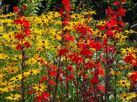 Lobelia and Rudbeckia 'Deamii'