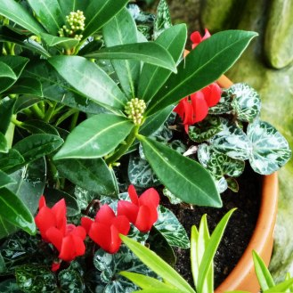 Skimmia and Cyclamen