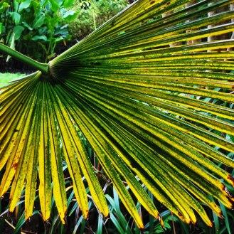 Windmill Palm or Chusan Palm, Trachycarpus fortunei