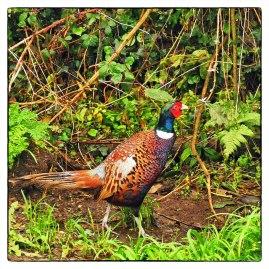 A local pheasant