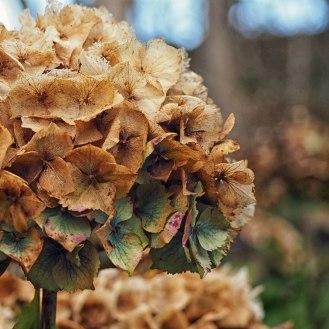 Hydrangea Mop head