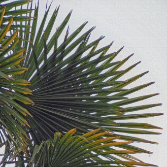 Windmill Palm or Chusan Palm, Trachycarpus fortunei