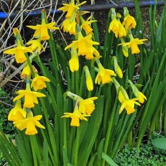 February Gold Narcissi