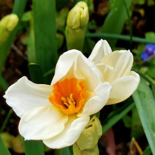 geranium-(2)