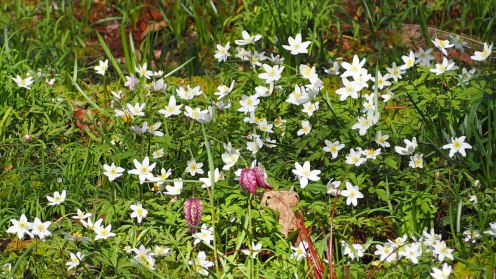 Wood Anemones and Snake's head Fritillaries