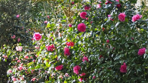 Camellias, red and pink