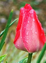 tulip-(3)