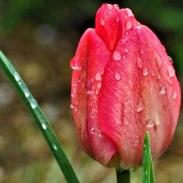 tulip-(4)