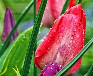 tulip-(5)