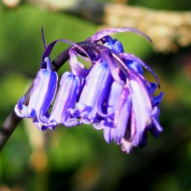 Native Bluebell