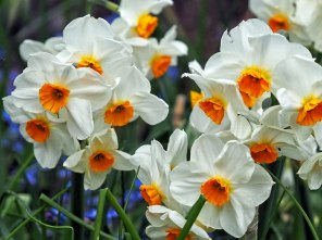 geranium (2)