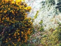 Gorse and Blackthorn