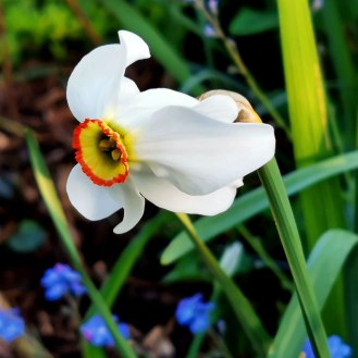 Poet's Narcissus
