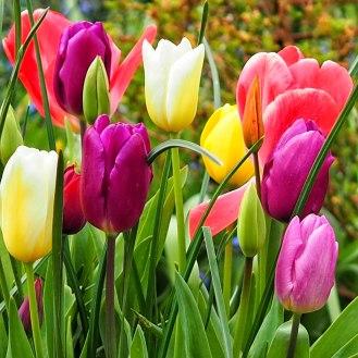 tulips-(1)