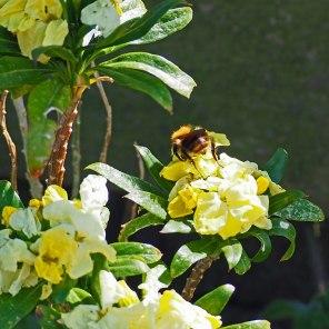 Wallflower and Bee