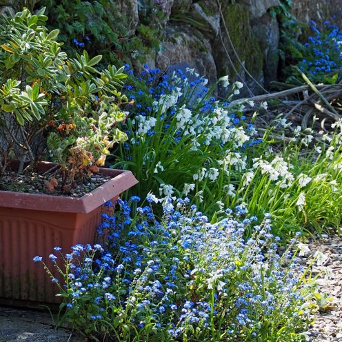 Self-seeded forget me nots and onion weed