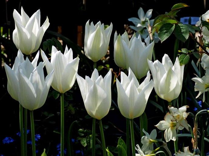white-triumphator-(1)