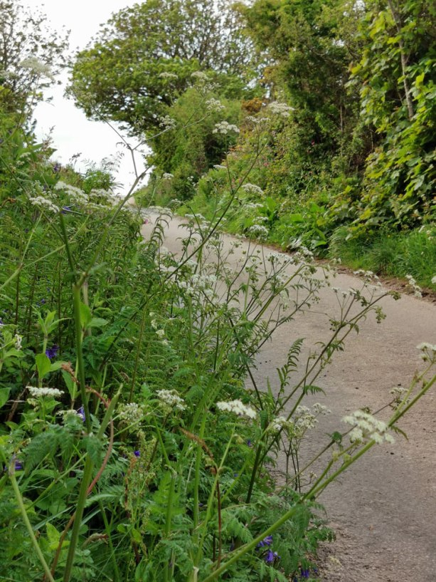 Cow parsley in the lane
