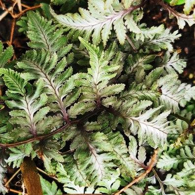 athyrium niponicum Ursala's Red (2)