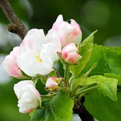 blossom(a)