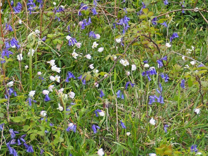 bluebells-and-anemones