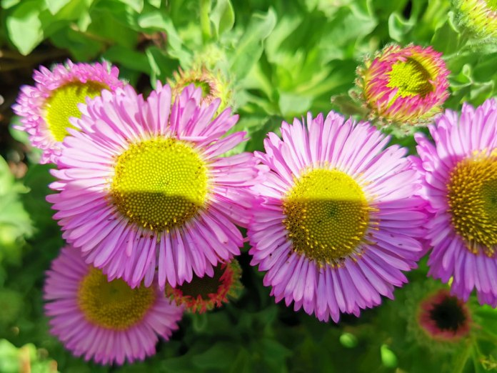 Erigeron 'Sea Breeze' (3)