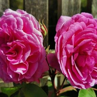 Rosa Gertrude Jekyll