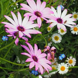 Pink osteos and Mexican fleabane