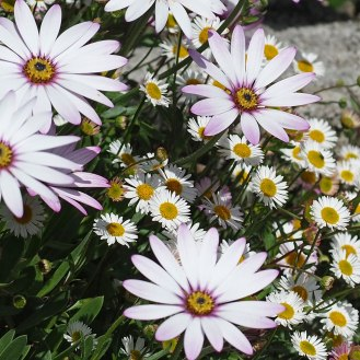 Snow Pixie and Mexican fleabane