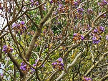 Paulownia tomentosa /Foxglove tree