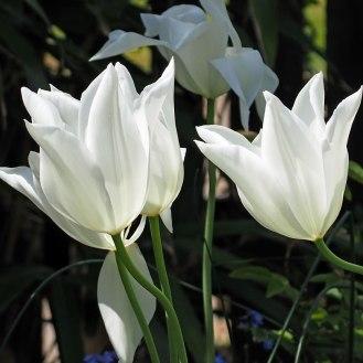 White Triumphator