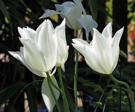 white-triumphator-(3)