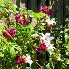 Clematis 'Princess Kate'