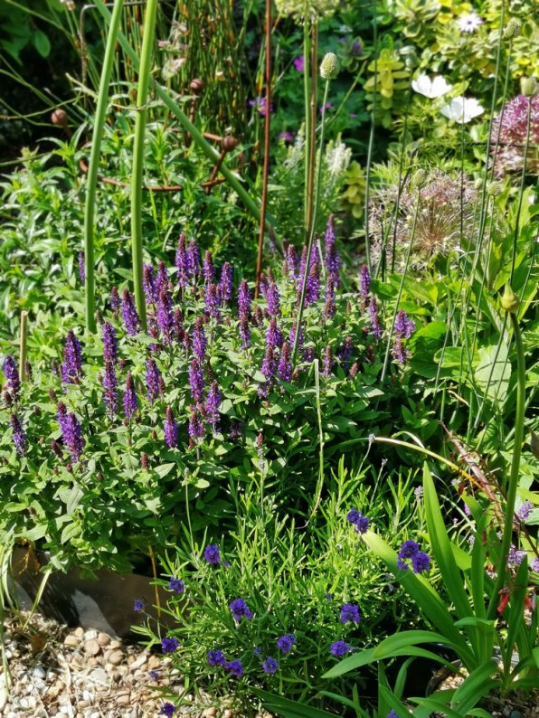 Salvia and Lavender