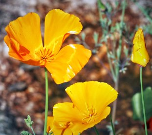 californian poppies (1)