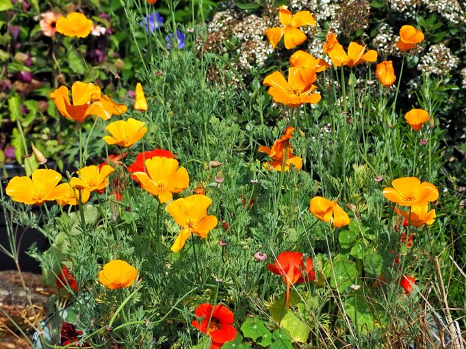 californian poppies (2)