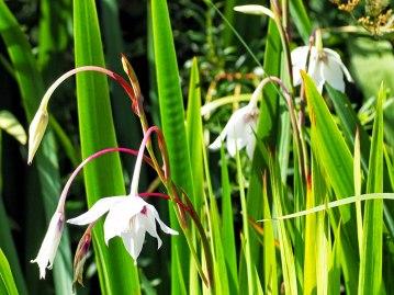 Gladiolus murielae (1)