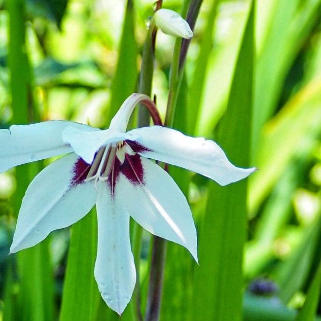 Gladiolus murielae (3)