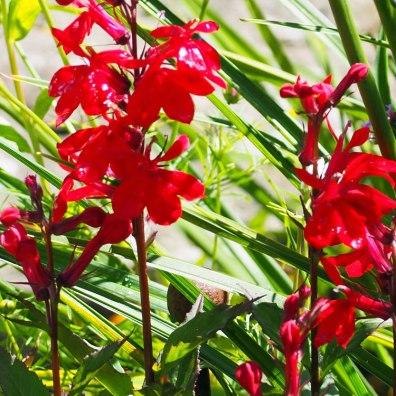 Lobelia cardinalis 'Queen Victoria' (1)
