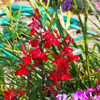 Lobelia cardinalis 'Queen Victoria' (2)