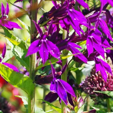 Lobelia 'Hadspen Purple' (1)