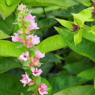 Lythrum salicaria 'Blush' (2)