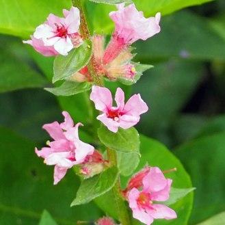 Lythrum salicaria 'Blush' (3)