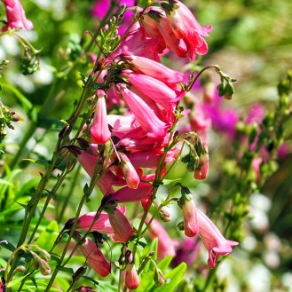 penstemon (1)