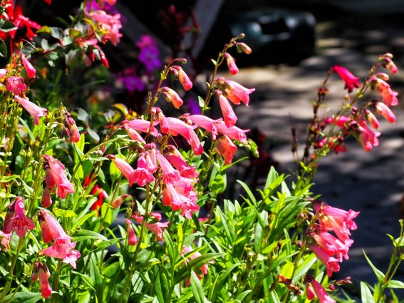 penstemon (2)