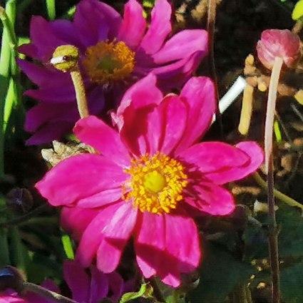 Japanese Anemone 'Pamina'