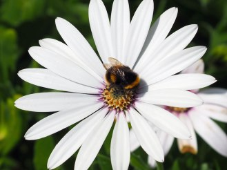 Osteospermum and bee
